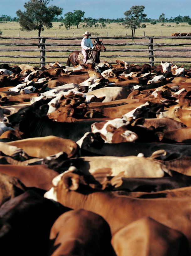 Farmarbeit mit Rindern