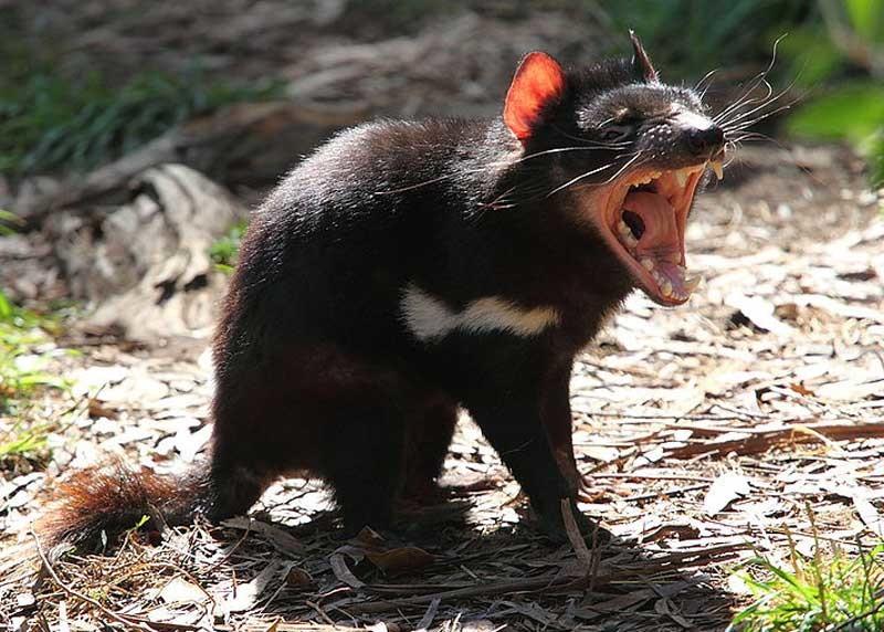 Hoffnung für den Tasmanischen Teufel