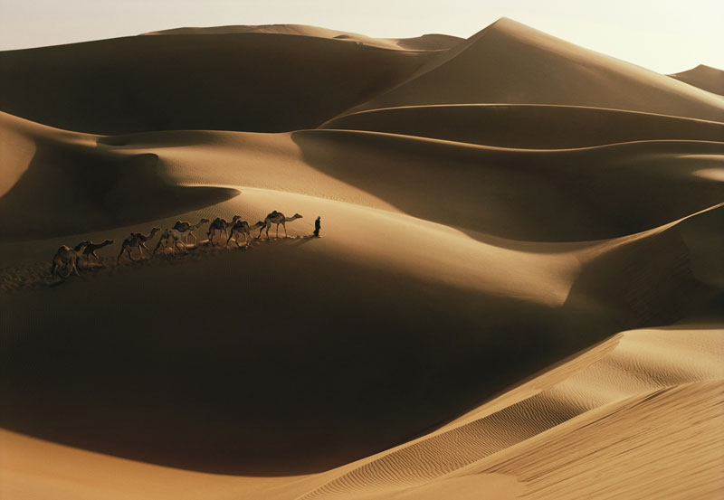 Camels in the Desert nahe Abu Dhabi