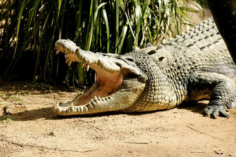 Schaurige Aussichten in ein Krokodilmaul