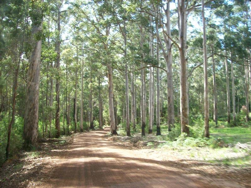 Der weg zum 2.Jahrhundert Baum im Karri Forrest