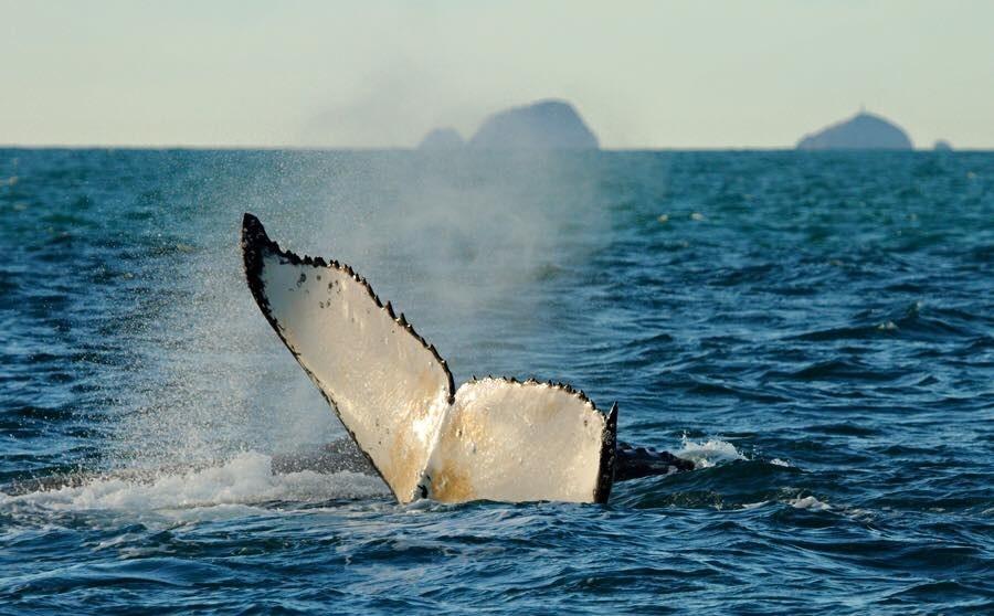 Rekordzahl an Walen in der Cook-Straße