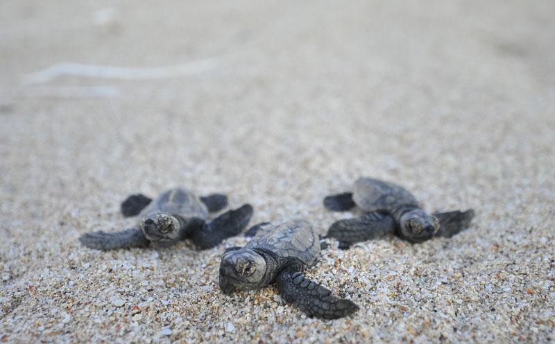 Schildkröten auf Dirk Hartog Island