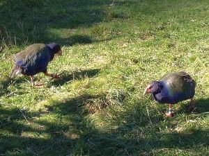 Takahe sind flugunf�hig und ern�hren sich haupts�chlich von Tussock-Gras