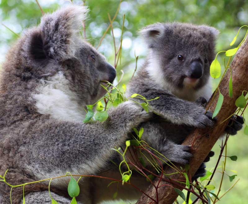Eröffnung des Koala-Waldes