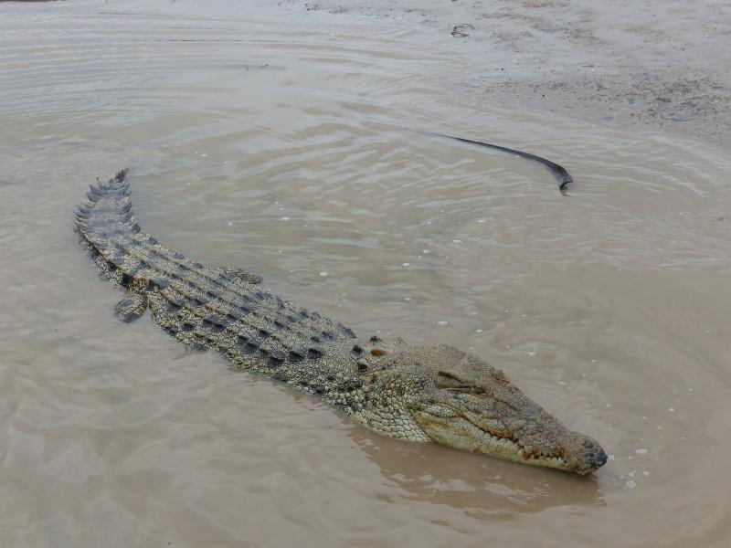 IK-Koorona-Krokodil_800