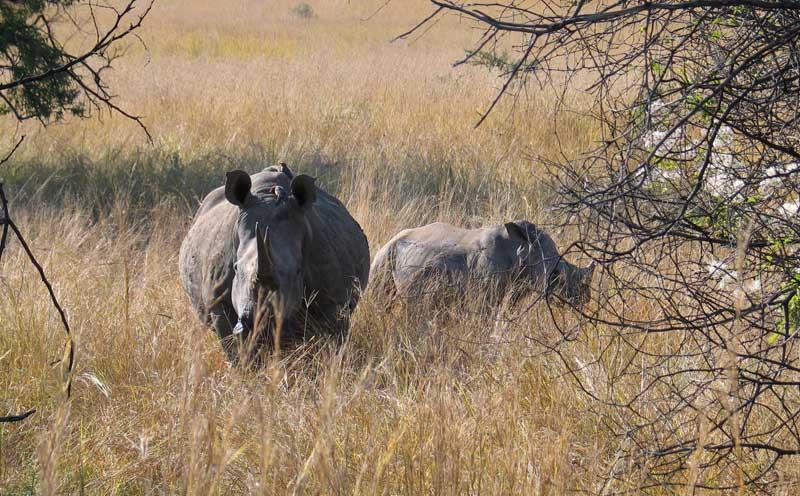 Nashörner in freier Wildbahn