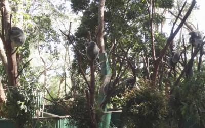 Koalas-im-Baum-800
