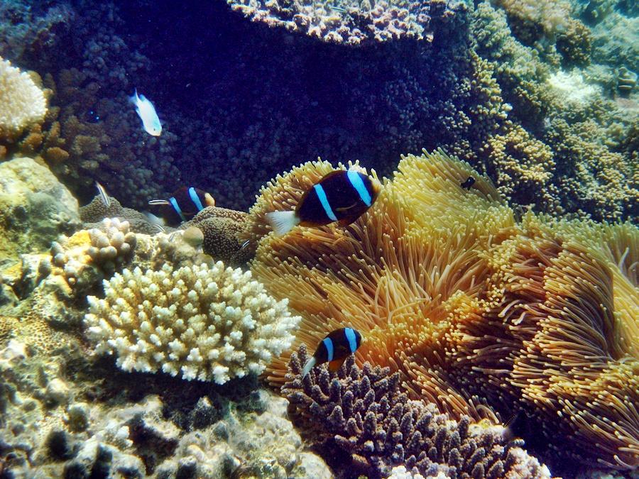 Clownfische im Great Barrier Reef