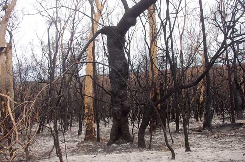verkohlte Bäume nach einem Waldbrand