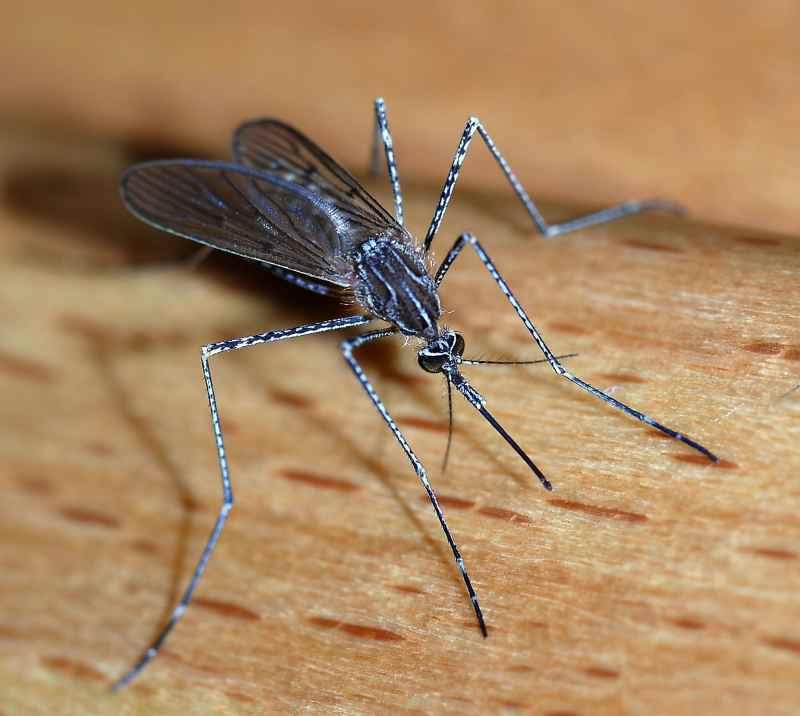 Mosquito_800