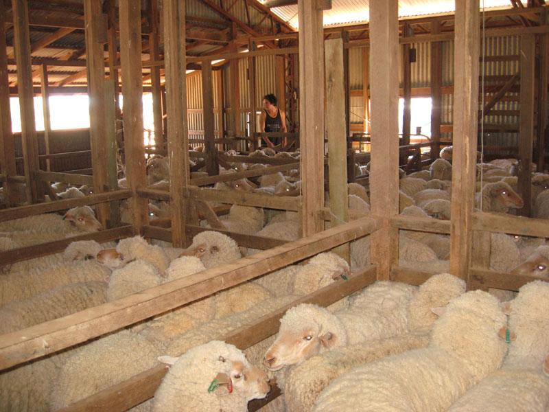 OTB-sheep-pens-800