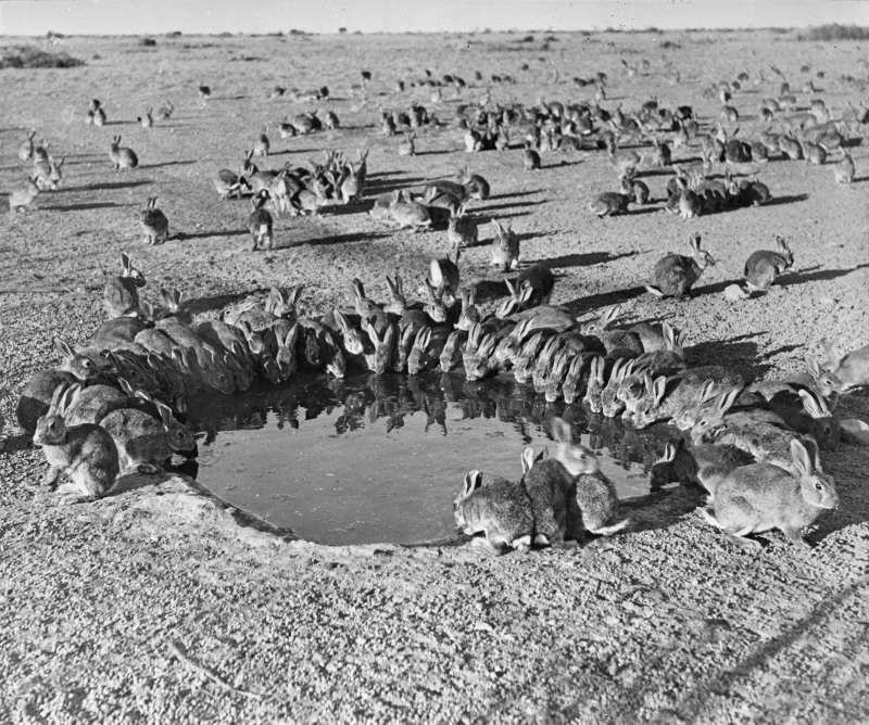 Kaninchen an einem Wasserloch (1938)