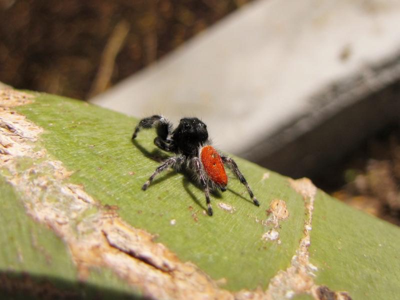 Redback_Spider_800
