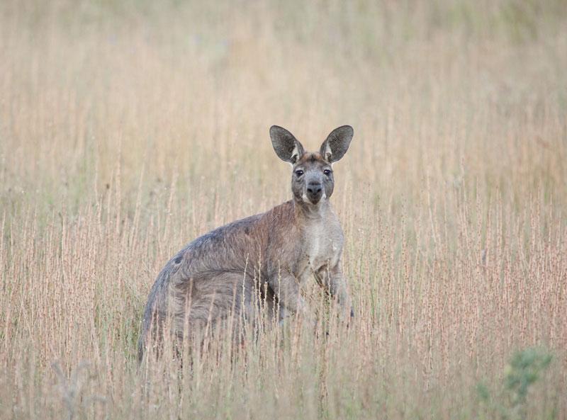 satc-kangaroo-800