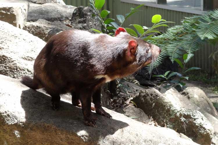 Der Tasmanische Teufel bedroht sich selbst