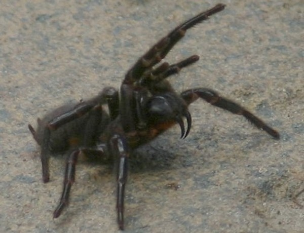 Trichternetz-Spinne