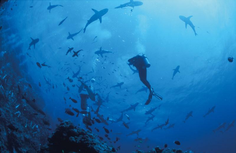 Für den einen der Adrenalinkick, für den anderen wahre Schönheit: Tauchen mit Haien.