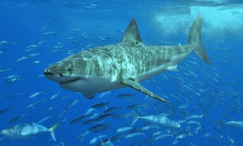 tg_w_white_shark-800