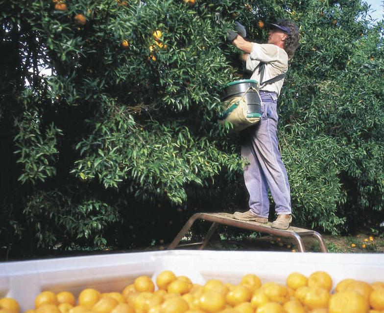 Ein Mandarinenpflücker bei der Arbeit