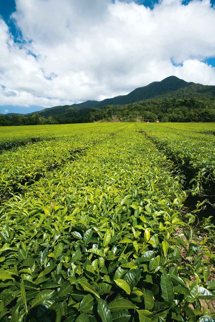 Tea plantation, Daintree, Queensland