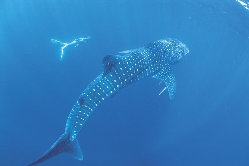 TWA-Swimming with the whalesharks at Ningaloo Reef_Heroshot -®Tourism Western Australia-800